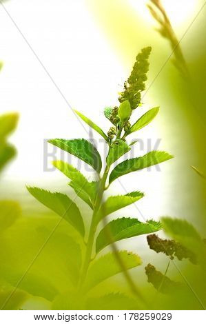 Wild plant in the sun on isolated background. Beautiful greenery nature macro green spikelet in grasses.