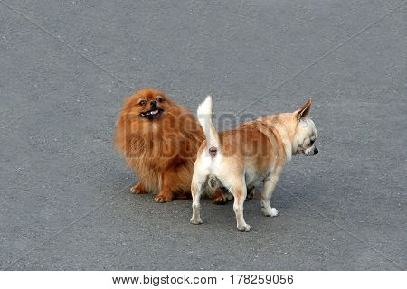 Decorative small dogs do set up a connection while walking. Ascertain respect doggy found funny. Pug and Pomeranian met and get acquainted.