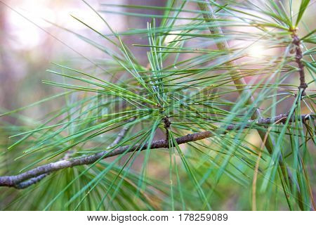 Fir branch with needles on a background of sun rays. Lovely background vegetation coniferous macro.