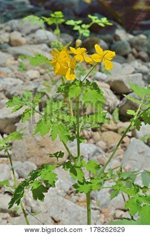 A close up of the blooming medicinal herb celandine (Chelidonium asiaticum).