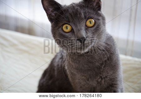 Russian blue little cat with yellow eyes