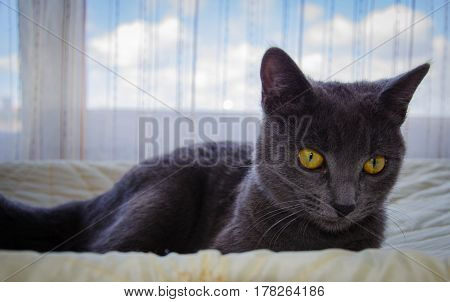 The russian blue breed's cat is lying and relax