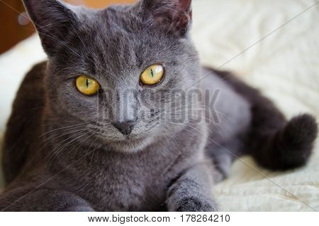 The russian blue breed cat with yellow eyes
