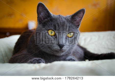 Russian blue breed lying cat with yellow eyes