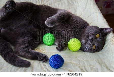 Russian blue lying cat playng with toys