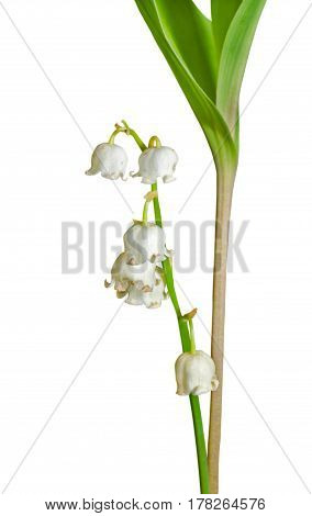 A close up of the lily-of-the-valley (Convallaria keiskei). Isolated on white.