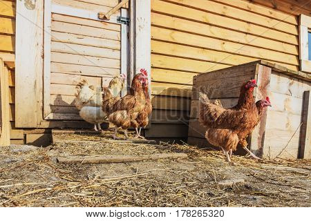 Poultry farm- growing fowl for food. Chicken for a walk in the farmyard.