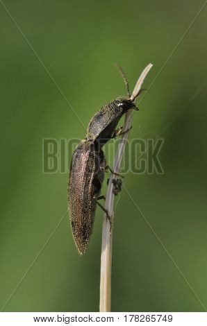 Click Beetle - Athous haemorrhoidalis Small beetle on dead stick