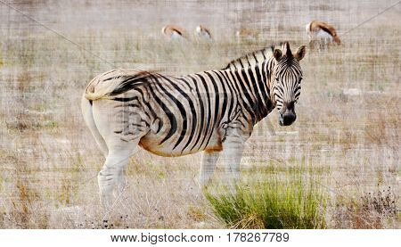 Close up of Zebra on dry meadow