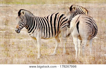 Close up of Zebras grazing dry meadow