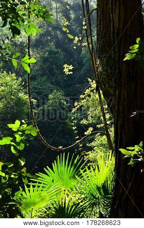 Light filtering through into the rainforest understory of ferns, palms and vines, Royal National Park, Sydney, New South Wales, Australia