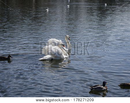 swimming two white swans on the lake