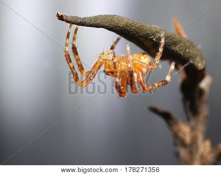 little cross spider on plant  close up
