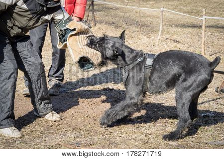 giant schnauzer dog attacks and bites during the dog training obedient course