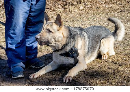 shepherd dog laying near its owner during the dog training obedient course