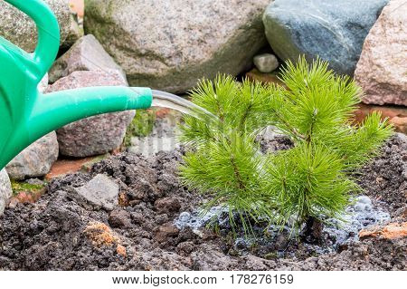 Garden, agricultural, farming work, transplantation, replantation and planting a young pine, embedment  and digging in the ground, watering of plant