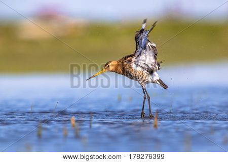 Godwit Flying Up From Shallow Water