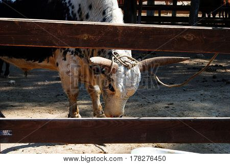 Powerful bull with pale skin and huge horns