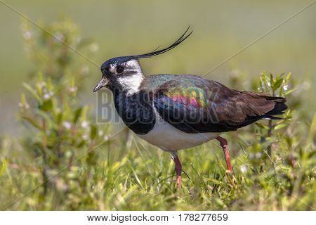 Northern Lapwing Walking Majestically In Grassland Habitat