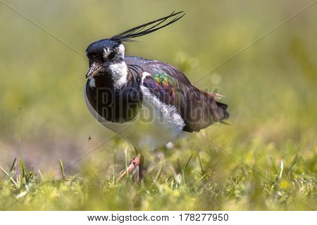 Northern Lapwing Walking Through Grassland Habitat