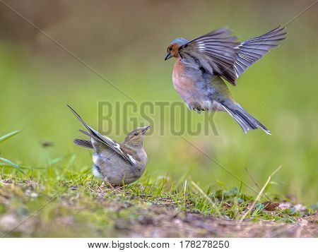 Pair Of Common Chaffinch On Lawn