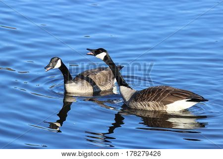 Two Canada Geese honking at other birds on a lake.