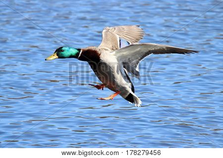 A male mallard duck Anas platyrhynchos flying in to land on a lake.