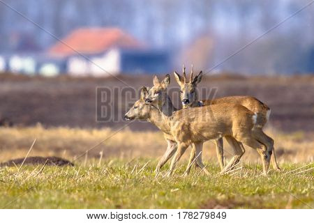 Roe Deer In Urban Setting