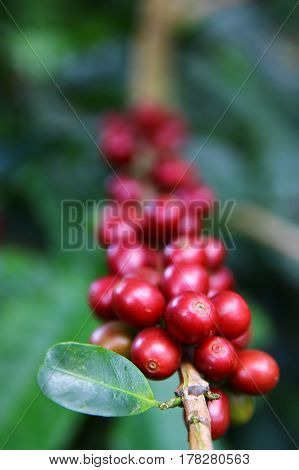 Coffee cherries on a coffee tree in Boquete Panama