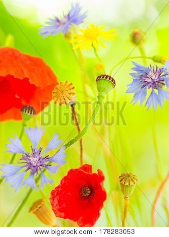 summer wildflowers color red and blue wild poppy and cornflower.  Field flowers with poppies vivid colours