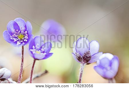 Blue spring wildflower liverleaf or liverwort, Hepatica nobilis. A delicate and fragile wild forest flower. Symbol for fragility