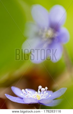 Early blue spring wild flower liverleaf or liverwort, Hepatica nobilis. A delicate and fragile wild forestflower. Symbol for fragility and serenity. soft focus image