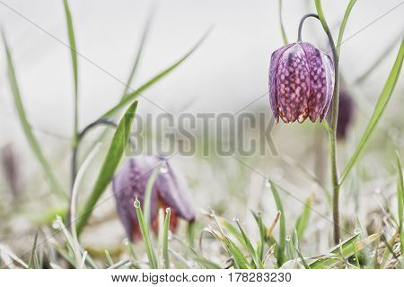 Spring flowering wildflower, Fritillaria meleagris. Blooming of a pink wild flower.