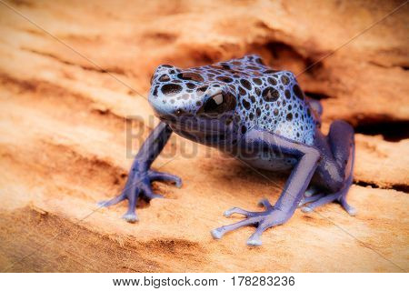 Blue and black poison dart frog, Dendrobates azureus. A beautiful poisonous rain forest animal in danger of extinction. Pet amphibian in a rainforest terrarium.