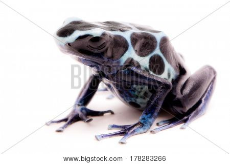 White poison dart frog, Dendrobates tinctorius oyapok, French Guyana. Macro of a poisonous Amazon rain forest animal. Isolated on white background.