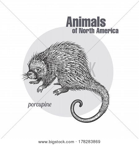 Porcupine hand drawing. Animals of North America series. Vintage engraving style. Vector illustration art. Black and white. Object of nature naturalistic sketch.
