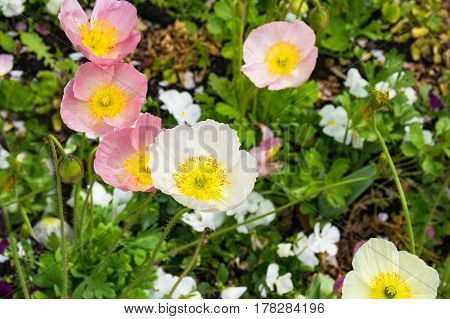 Decorative Poppy Flowers On Flowerbed