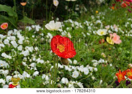 Rich Red Oriental, Decorative Poppy Flower