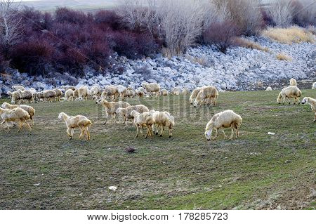 Sheep, sheep in sheep, grazing sheep, spring arrivals and sheep, pictures of lovely sheep, wool and sheep,