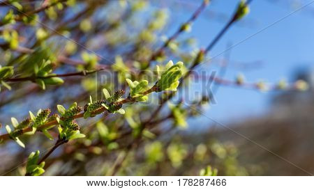 Forsythia in front of a blue sky in sunshine