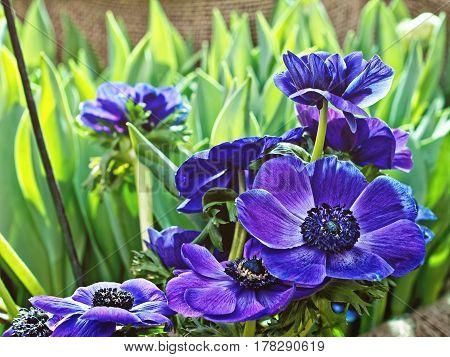 Beautiful Blue Crown Anemone flowers - Anemona coronaria