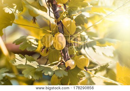 berries gooseberry growing on a branch of bush close-up fruit gooseberry bush in the garden