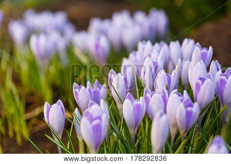 View Of Blooming First Spring Flowers Crocus