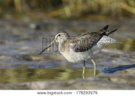 A Short-Billed Dowitcher, Limnodromus griseus in a mudflat in Florida