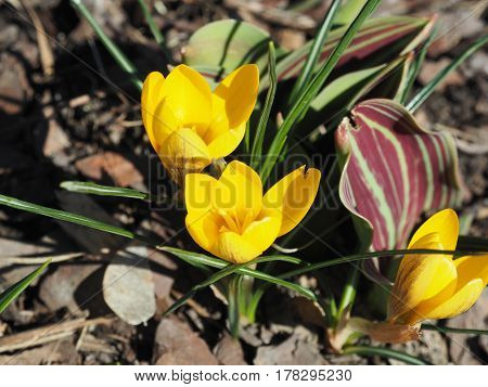 Yellow Crocus Chrysanthus Goldilocks in the park