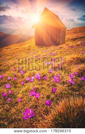 Carpathian Valley Covered With Carpet Of Crocus Flowers