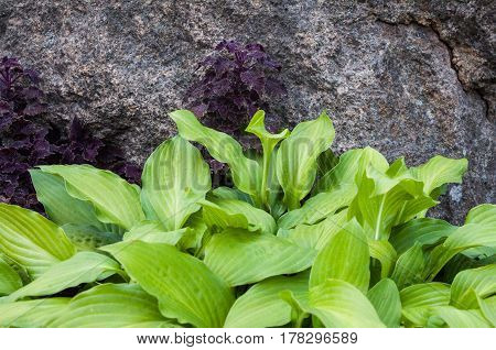 Green hosta and purple coleus in the flowerbed near the gray stone.