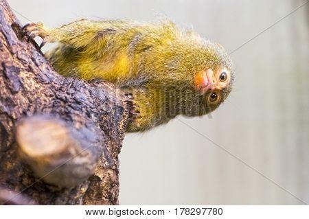 Pygmy marmoset, the smallest monkey - Callithrix or Cebuella pygmaea
