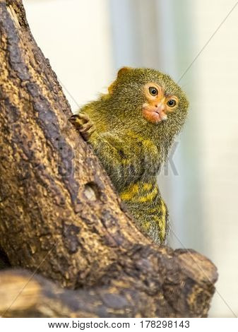 Pygmy marmoset, the smallest monkey - Callithrix or Cebuella pygmaea