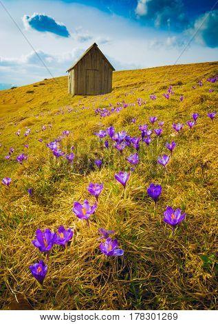 Carpet Of Crocus Flowers